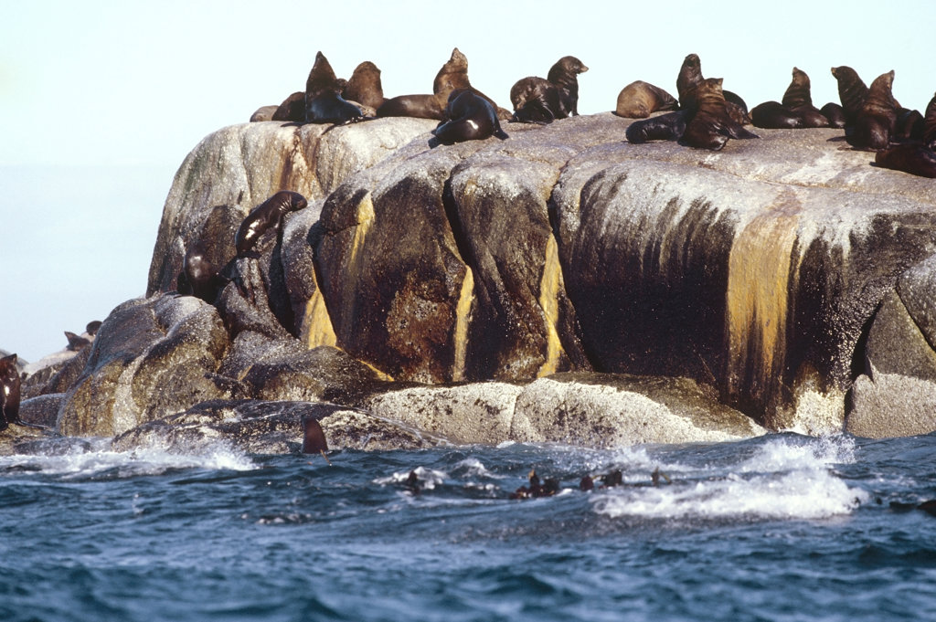 Stock Photo: 4030-1276 Seals on Rock, Western Cape, South Africa