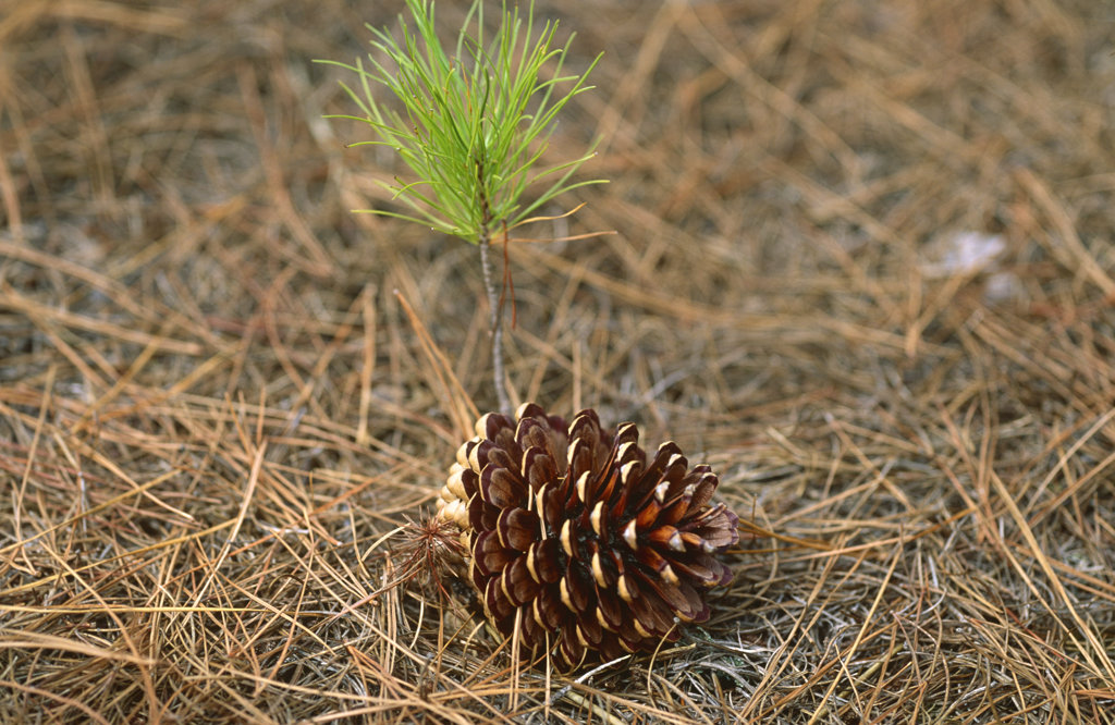 Pine Cone and Sapling, Cecilia Forest, Cape Town, South Africa : Stock Photo