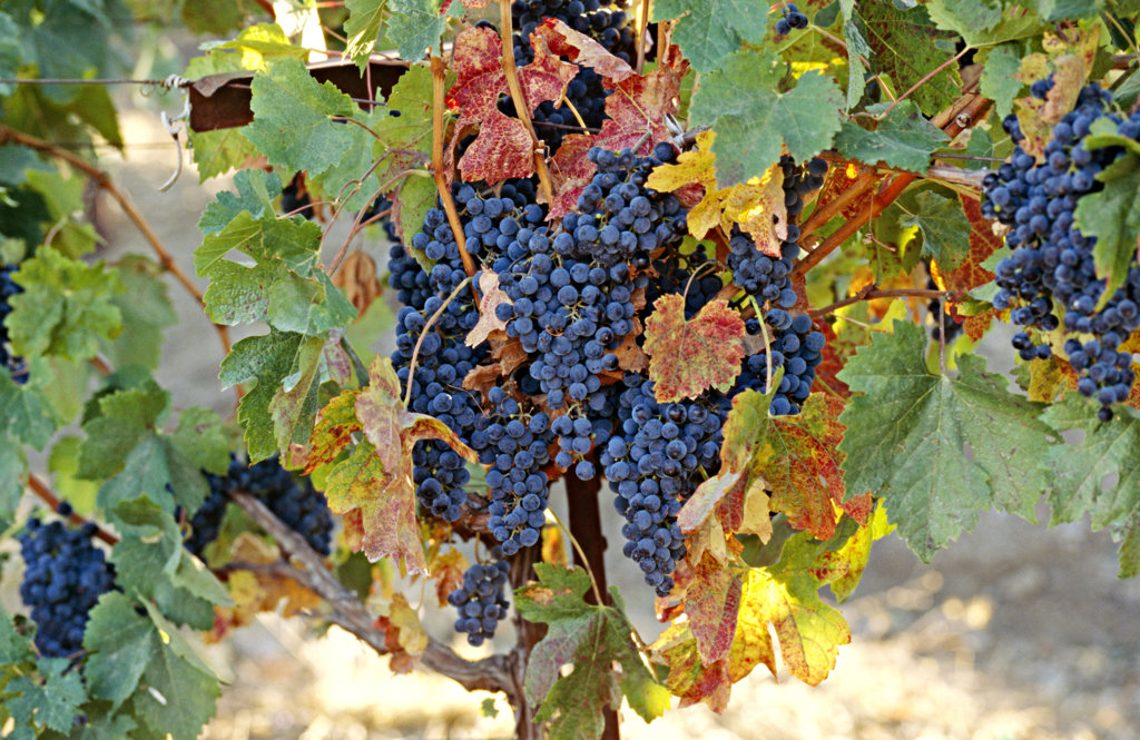 Grapes, Napa Valley, California, North America : Stock Photo