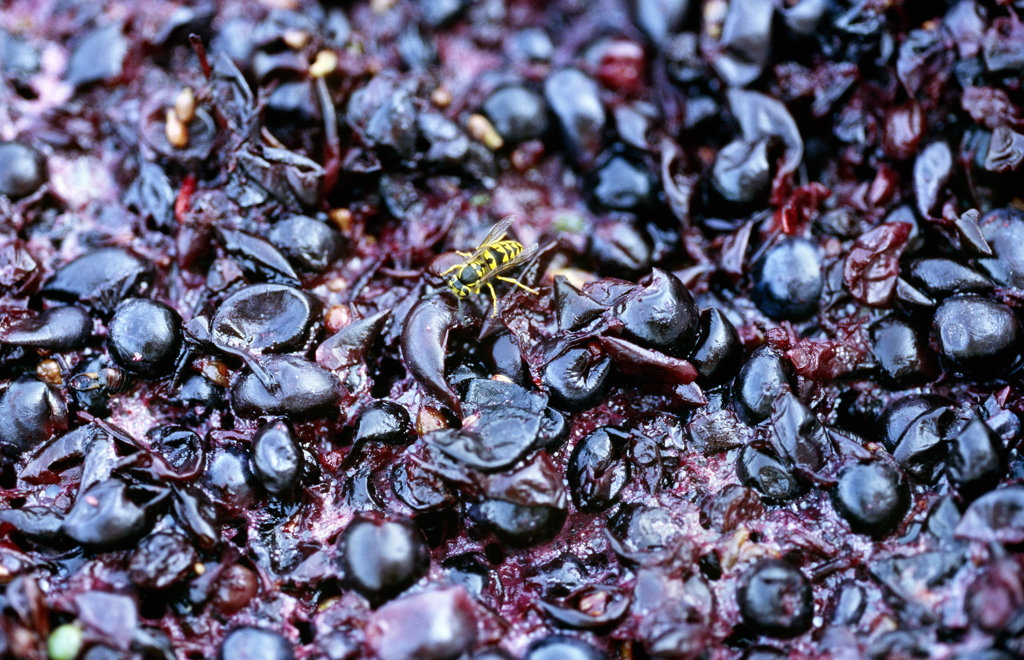 Stock Photo: 4030-2248 Crushed Grapes, Napa Valley, California, North America