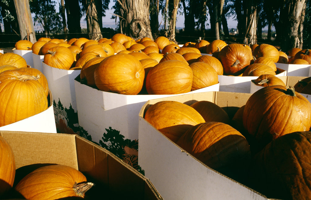 Pumpkins, Napa Valley, California, North America : Stock Photo