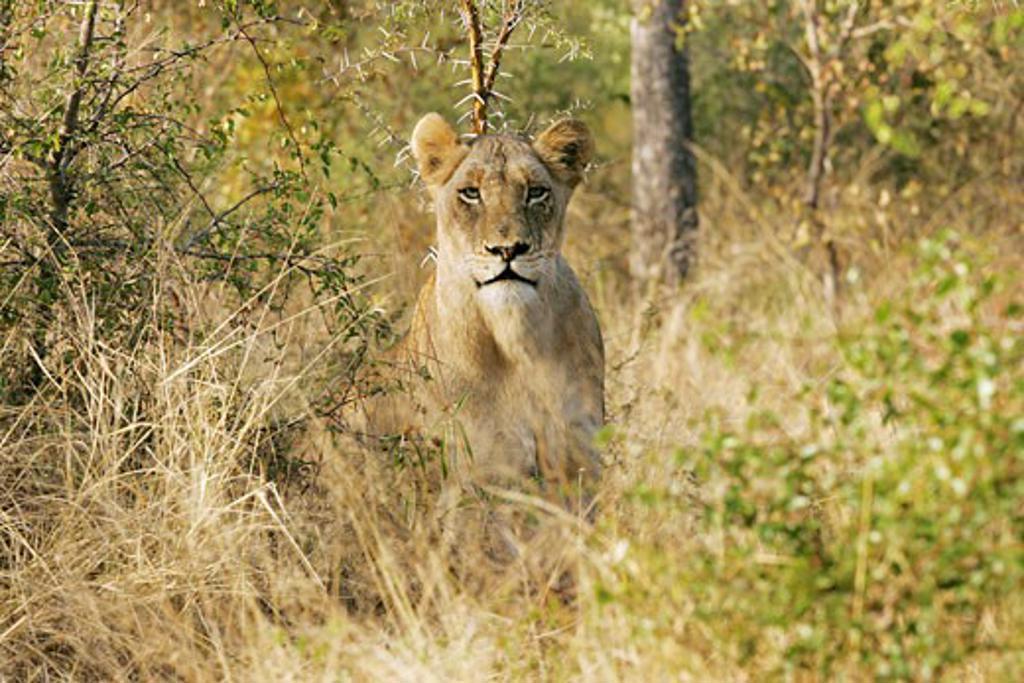 Stock Photo: 4030-2610 Londolozi, Mpumalanga, South Africa, Africa