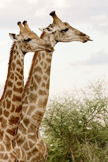 Stock Photo: 4030-2622 Madikwe, North West, South Africa, Africa