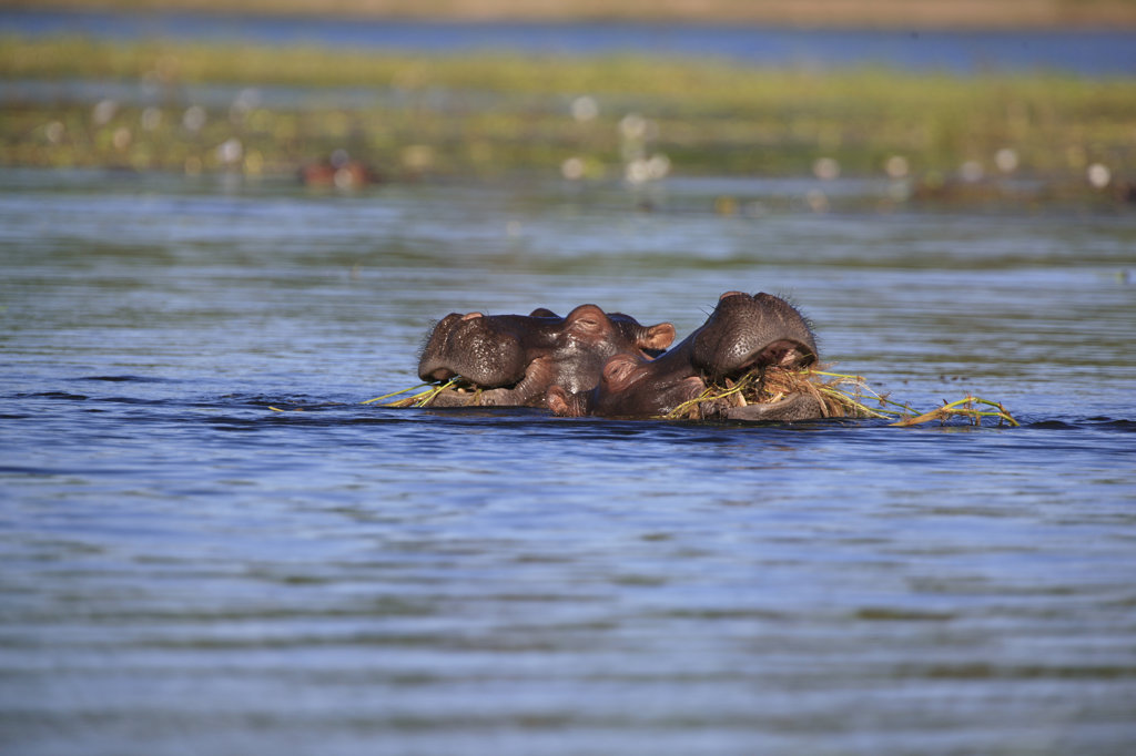 Stock Photo: 4030-3005 Two Hippopotamus Eating Grass in the water, South Africa