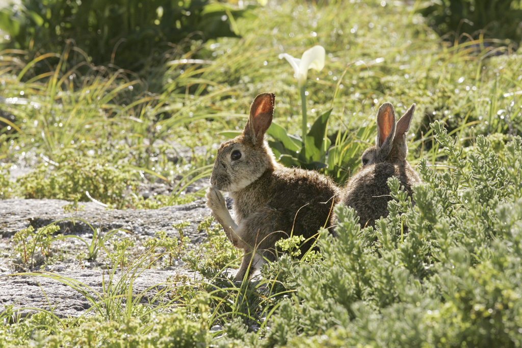 European Rabbits on Dassen Island, South Africa, originally introduced to the island as a food source in 1665 : Stock Photo