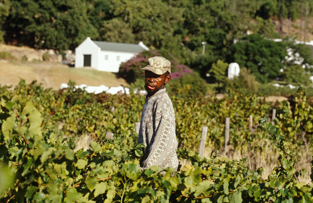 Stock Photo: 4030-3959 Grape harvest, Cape Wine Route, Franschhoek, Western Cape