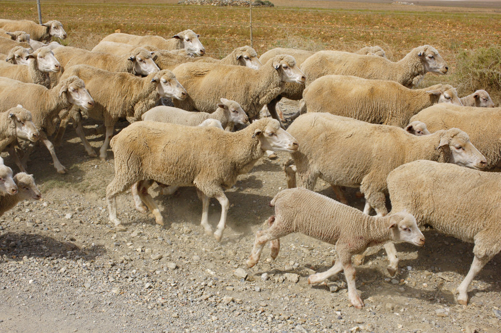 Sheep Herd, Cape Infanta, South Africa : Stock Photo