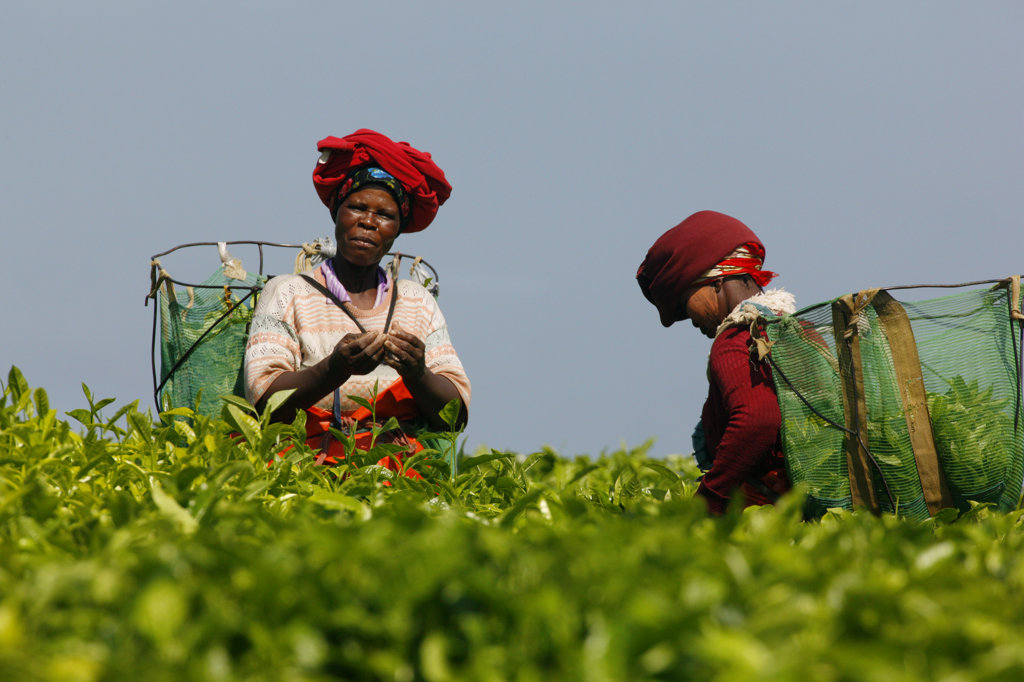 Tea Pickers, Transkei : Stock Photo