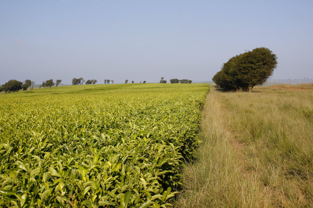 Stock Photo: 4030-5578 Magwa Tea Plantation, Transkei