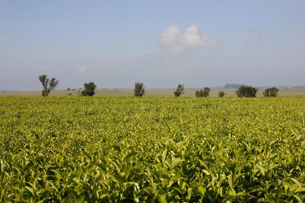Stock Photo: 4030-5579 Magwa Tea Plantation, Transkei