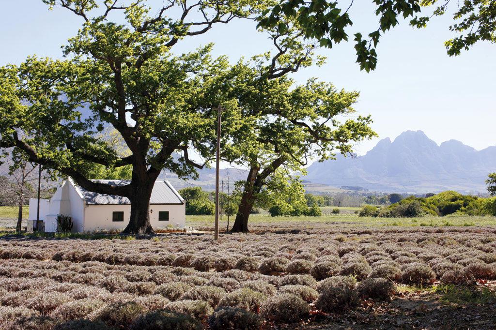Franschhoek Lavender Fields, Franschhoek, South Africa : Stock Photo