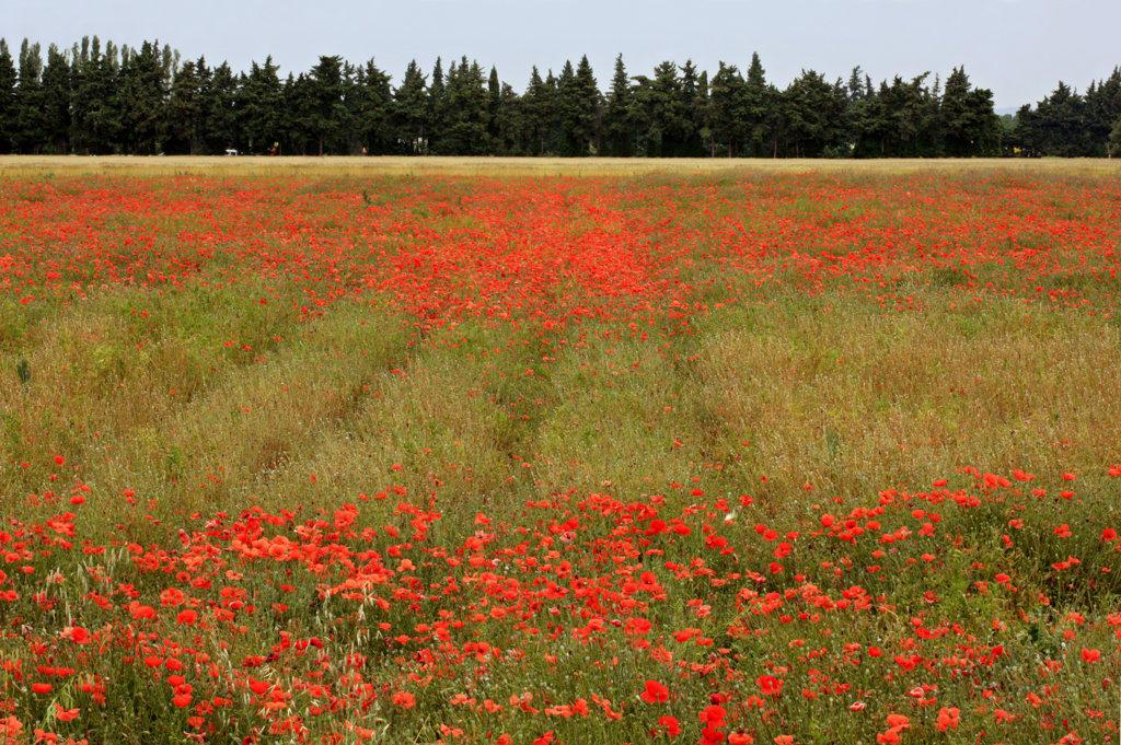 Red Poppy Fields, Jonquières, France : Stock Photo