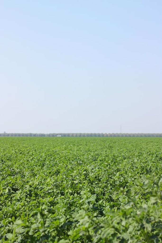 Stock Photo: 4031-224 USA, California, Kern county, Alfalfa field