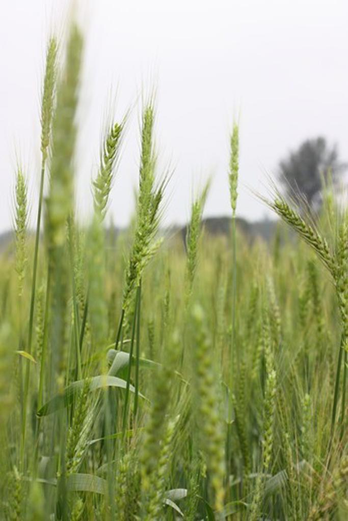 Taiwan, Kinmen County, Wheat field in spring : Stock Photo