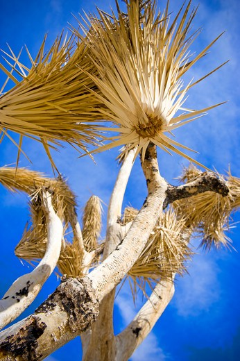 Stock Photo: 4033-477 Low angle view of a Joshua tree (Yucca brevifolia), Joshua Tree National Monument, California, USA