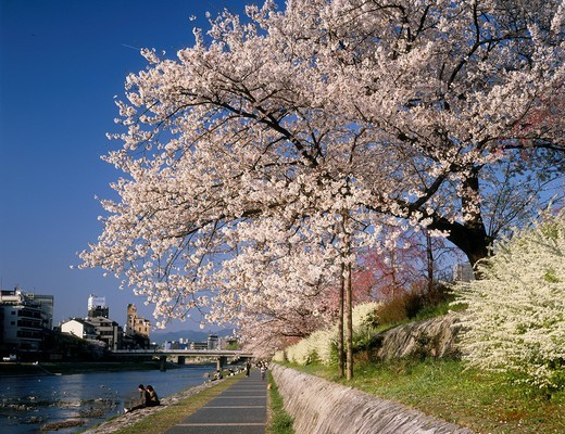 Cherry blossoms, Kamogawa river, alameda, headwaters of Matsubara Bridge, Kyoto, Kyoto, Kinki, Japan : Stock Photo