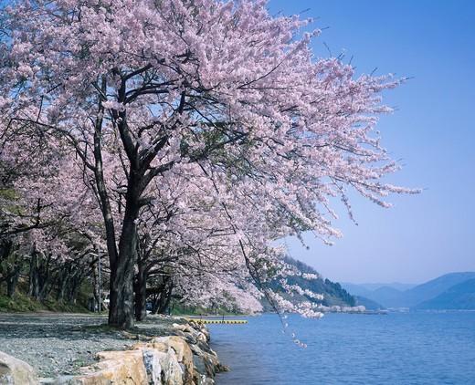 Cherry blossoms, Flower, Kaizu Osaki, Lake Biwa, Takashima, Shiga, Kinki, Japan : Stock Photo
