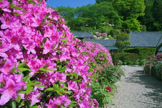 Azalea, Flower, Senshuku_ji Temple, Kansai Flower Temple, 22nd, Gose, Nara, Kinki, Japan : Stock Photo