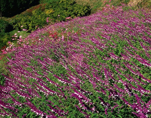 Mexican Salvia, flower, flower field, Kamikawa, Saitama, Kanto, Japan : Stock Photo
