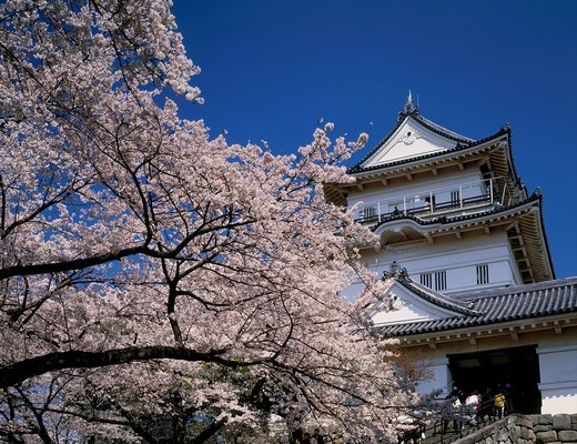 Cherry Blossoms, Odawara castle, Odawara, Kanagawa, Japan : Stock Photo