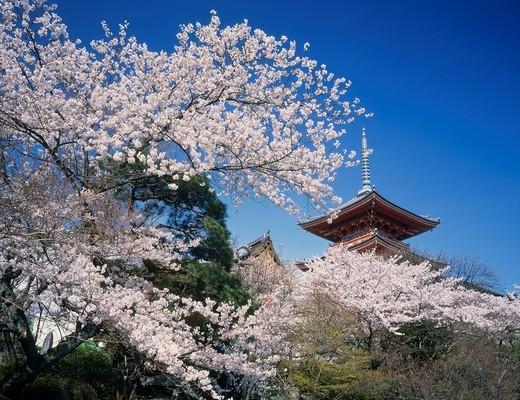 Cherry blossoms, Kiyomizudera temple, Three_Storied Pagoda, Kyoto, Japan, World Heritage : Stock Photo
