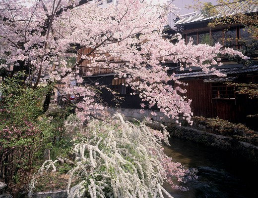 Cherry blossoms, Spirea, Gion Shirakawa, Kyoto, Kyoto, Japan : Stock Photo
