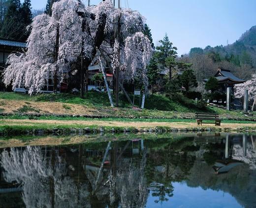 Saikoji Temple, Buddhist temple, Weeping cherry blossoms, flower, Gifu specification natural monument, Takayama, Gifu, Takai, Japan : Stock Photo