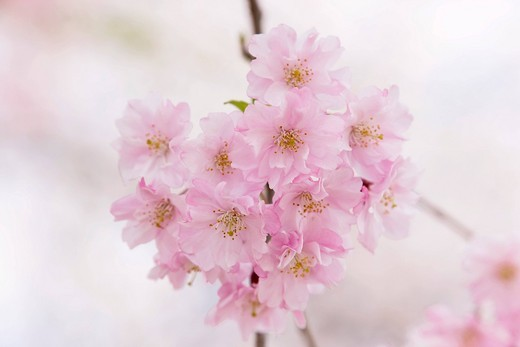 Plant, Flower, Cherry blossoms, Weeping Cherry blossoms, Yoro, Gifu, Tokai, Japan : Stock Photo