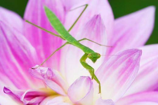 mantis, dahlia, dahlia pure love, Tochigi, Kanto, Japan : Stock Photo