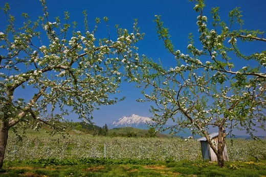 apple, Apple field, Mt. Iwaki, Apple road, Hirosaki, Aomori, Tohoku, Japan : Stock Photo