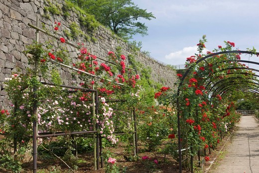 Shirakawa rose garden, Shirakawa_Komine castle, rose, stone wall, Shirakawa, Fukushima, Tohoku, Japan : Stock Photo