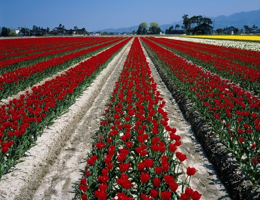 Flower, Tulip field, Nyuzen, Toyama, Japan : Stock Photo