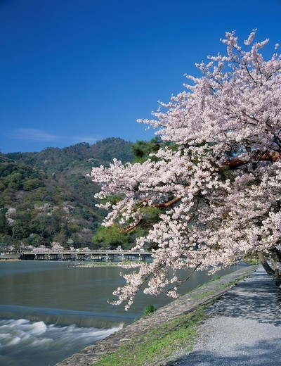 Stock Photo: 4034-110390 Cherry blossoms, Arashiyama, Katsuragawa river, Togetsu_kyo Bridge, Kyoto, Japan