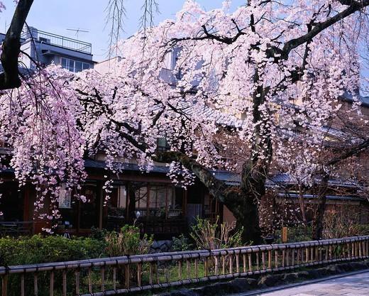 Weep cherry blossoms, flower, Gion, Shirakawa, Kyoto, Kyoto, Kinki, Japan : Stock Photo