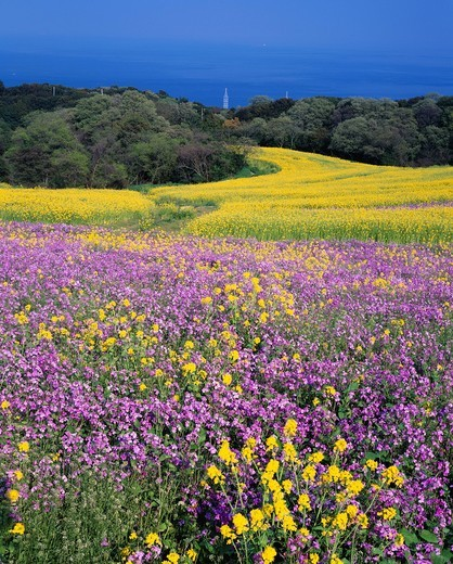 Rape blossoms, Awaji hana sajiki, Orychophragmus violaceus, Awaji, Hyogo, Kinki, Japan : Stock Photo