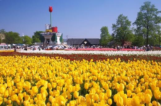 Tonami Tulip fair, Tonami, Tonami, Toyama, Hokuriku, Japan : Stock Photo