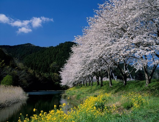 Stock Photo: 4034-114489 Cherry Blossoms, Nakagawa river, Matsuzaki, Nishiizu, Izu peninsula, Shizuoka, Japan