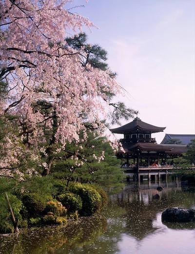 Weeping cherry tree, Heian Jingu Shrine, bridge lord, Hatabyokaku, Kyoto, Kyoto, Japan, World Heritage : Stock Photo