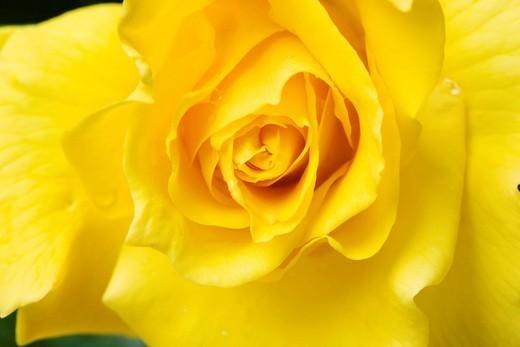 Stock Photo: 4034-116214 Flower, rose