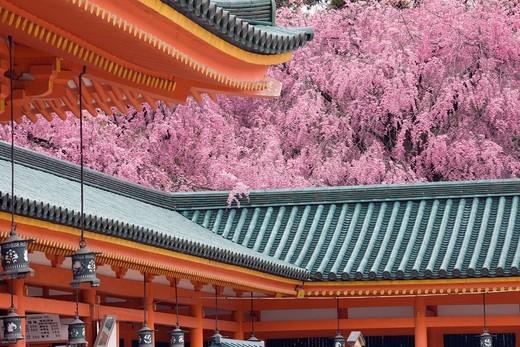 Heian Jingu Shrine, Cherry Blossoms, Weeping Cherry, Flower, Kyoto, Kyoto, Kinki, Japan : Stock Photo