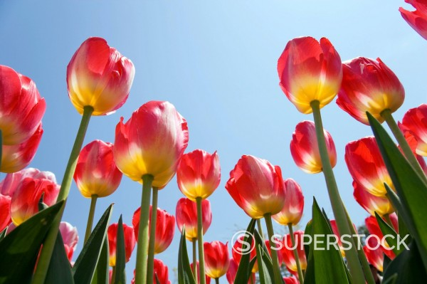 Stock Photo: 4034-118450 Tonami Tulip fair, tulip, Tonami tulip garden, Tonami, Toyama, Hokuriku, Japan