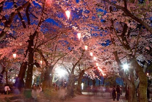 Stock Photo: 4034-118820 Senshu park, Site of Kubota castle, Selection of 100 famous place of Cherry blossoms in Japan, Cherry blossoms, Flower, Cherry blossoms in the evening, Akita, Akita, Tohoku, Japan