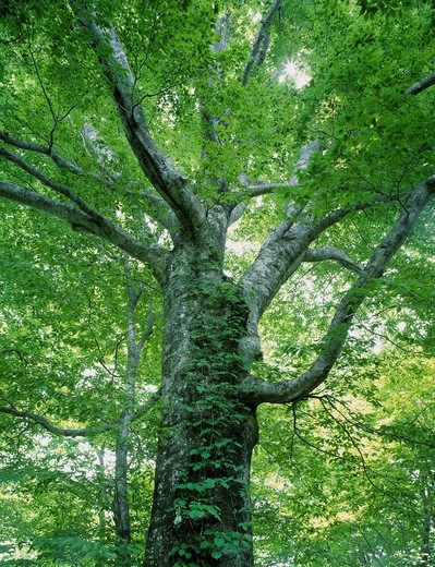 Stock Photo: 4034-120402 Shirakami Sanchi, Beech, Dakedai Nature_views guess education woods, Fujisato, Akita, Tohoku, Japan
