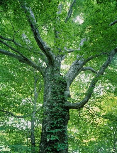 Shirakami Sanchi, Beech, Dakedai Nature_views guess education woods, Fujisato, Akita, Tohoku, Japan : Stock Photo