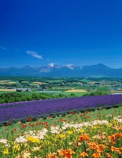 Flower land Kamifurano, Tokachi Mountain Range, Kamifurano, Hokkaido, Japan : Stock Photo