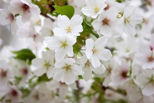 Plant, Flower, Cherry, Prunus speciosa, Nakiso, Nagano, Koshinetsu, Japan : Stock Photo
