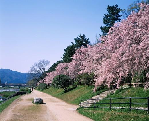 Cherry blossoms, Flower, Nakaragi no michi, Nakaragi Road, Weeping Cherry, Kyoto, Kyoto, Kinki, Japan : Stock Photo