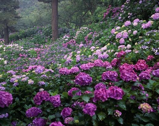 Viburnum macrophyllum, Shimoda park, Shimoda, Minamiizu, Izu peninsula, Shizuoka, Japan : Stock Photo