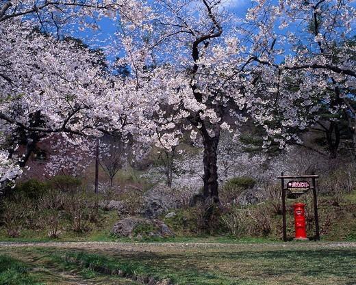 Love Letter Post, Cherry Blossoms, Kimimachizaka park, Futatsui, Akita, Japan : Stock Photo