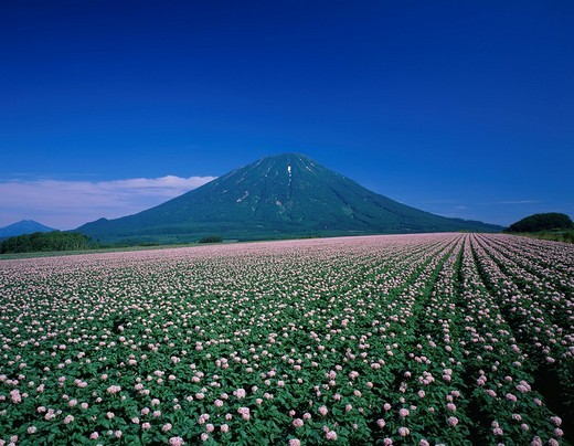 Potatoes field, Mt Yotei, Makkari, Hokkaido, Japan : Stock Photo